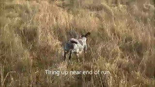 Gundog Training A Gsp Puppy Quartering 8 Month Old Part 1
