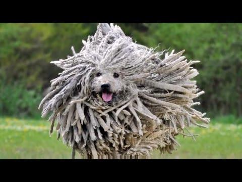 DOG BREEDS RASE LIST #P: POMERANIAN DOG, POODLE DOG, PUG DOG, PULI DOG, PUMI DOG   DISCOVER