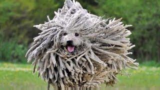 DOG BREEDS RASE LIST #P: POMERANIAN DOG, POODLE DOG, PUG DOG, PULI DOG, PUMI DOG | DISCOVER