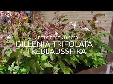 Årets Perenn 2020 Gillenia trifolata Trebladsspira