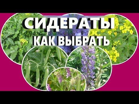 Вопрос: Какие сидераты лучше выращивать на даче?