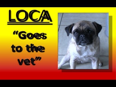 god is dead pug loca the pug who cant run doovi 3122