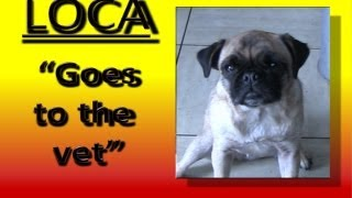 Loca The Pug Goes To The Vet