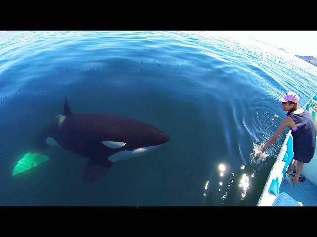 Unique Orca encounter in the Sea of Cortez…Bahia de los Angeles, Mexico.