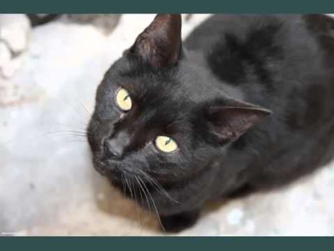 Black Burmese Kittens | Picture Ideas Of Cats