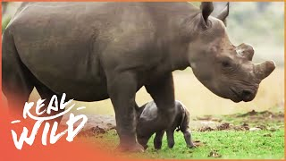 Saving An Endangered Rhino (Wildlife Documentary) | Capture Wild School S1 EP4 | Real Wild