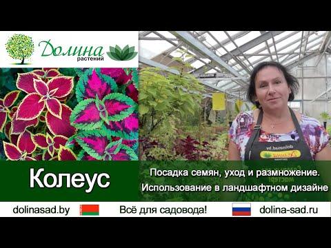 КОЛЕУС: от посадки до размножения. Использование в ландшафтном дизайне. Комнатные растения из семян.