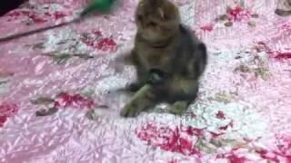 Продажа котят шотландской породы.
