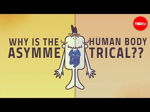 Why are human bodies asymmetrical? - Leo Q. Wan