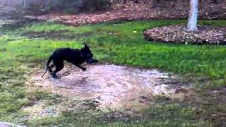 Giant Schnauzer Puppy In Mud Puddle