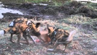 Wild Dogs v Impala | Impala Fights Back as Guts Fall Out