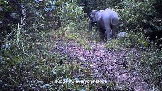 Asian Elephants scared by something