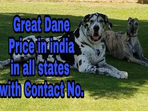 Great Dane Price in india in all states with Contact No.