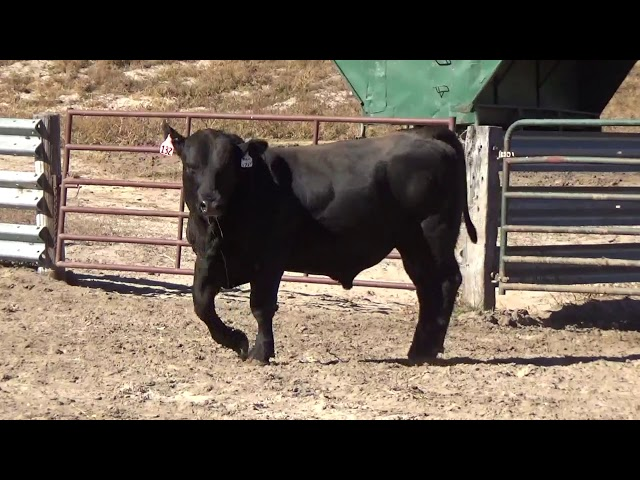 Connealy Angus Lot 132