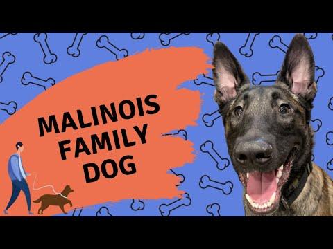 Belgian Malinois - Family Dog