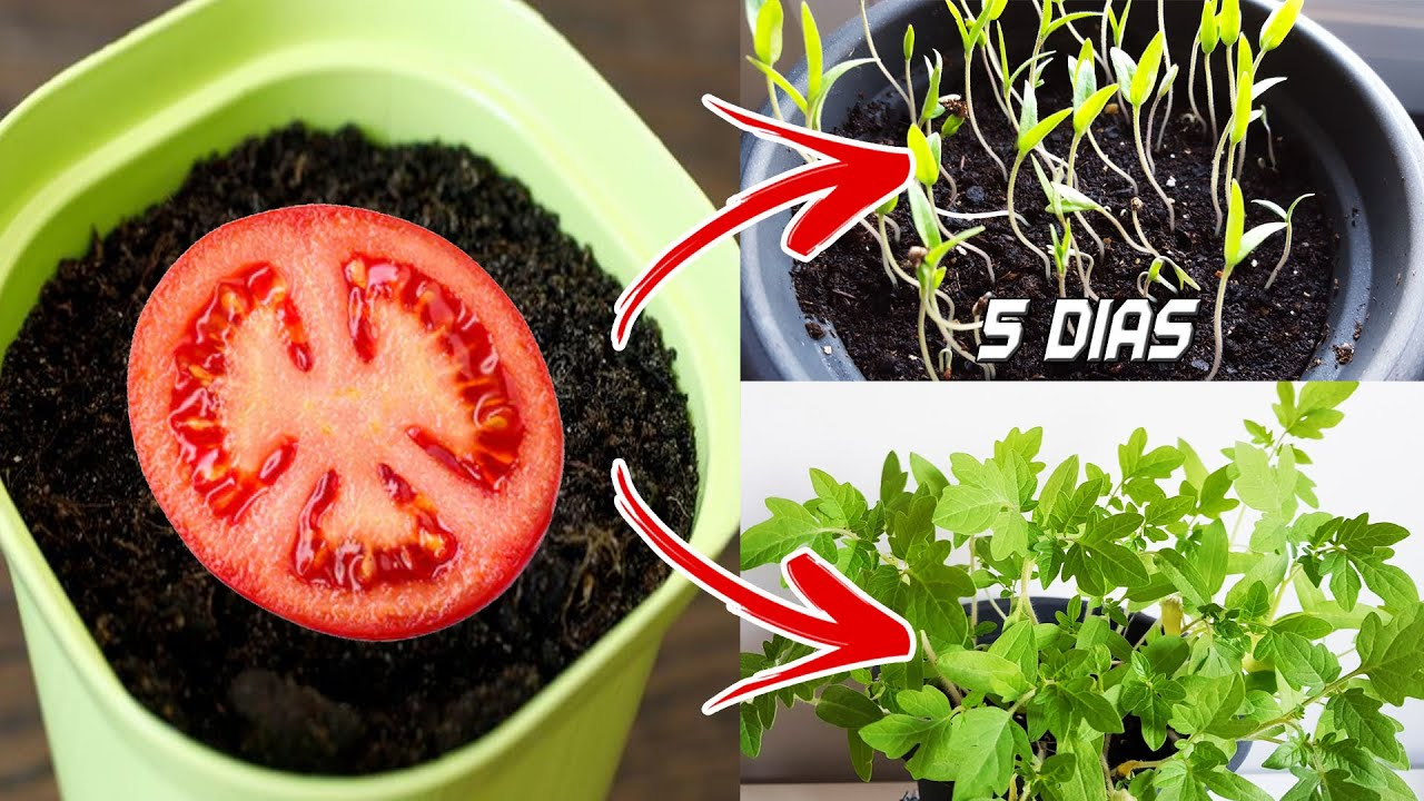 You Have To See It How To Plant Tomatoes At Home Germinate Cherry Tomatoes Plant Tomatoes