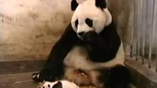 Yavru Panda ve Annesi Çok Komik