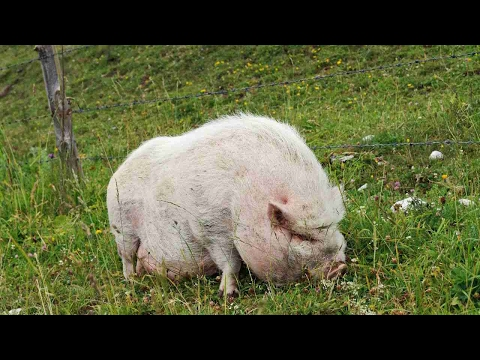 How to Feed Your Potbellied Pig | Pet Pigs
