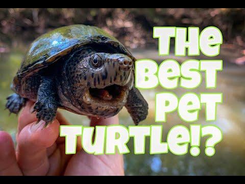 The BEST Pet Turtles!? Mud And Musk Turtles