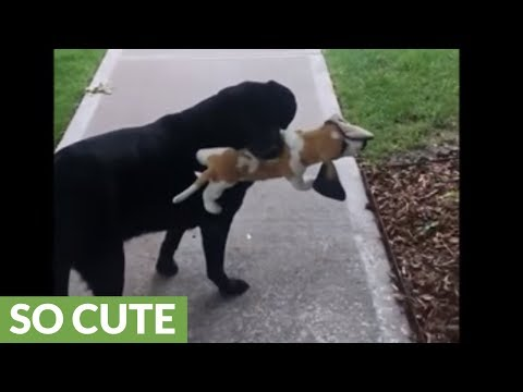 sweet-dog-takes-beagle-stuffed-animal-on-morning-stroll