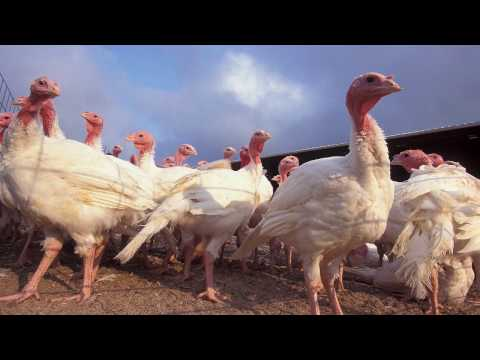 Thomas and Melanie Blackham - turkey growers for Norbest, Moroni UT
