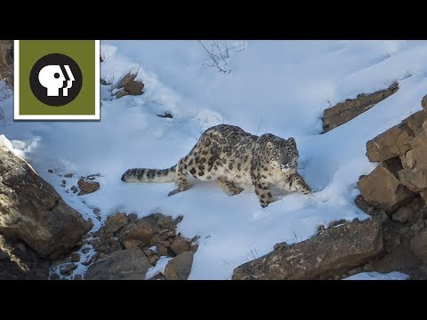 The Severity of Snow Leopard Survival