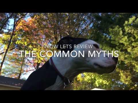 American Pit Bull Terrier Genius Hour