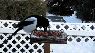 Magpies, Chickadees And Blue Jays!!! Platform Bird Feeder Outside Our Window.