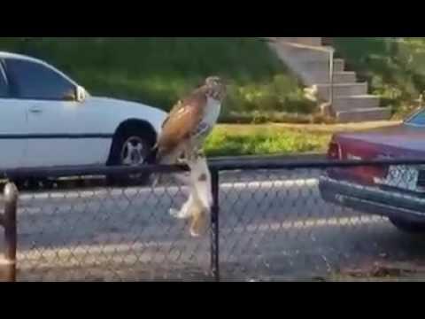 Hawk In The Hood Eats Kitten