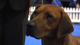Manchester Championship Dog Show 2016 - Hound group