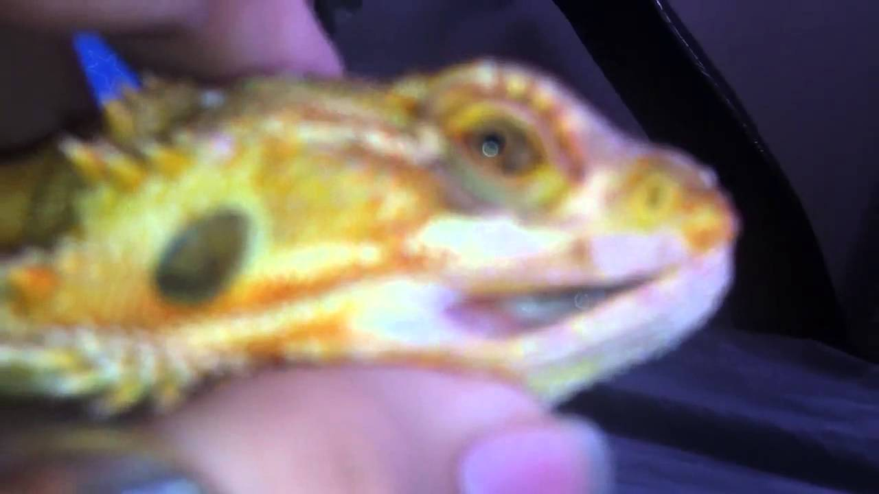 Is Your Bearded Dragon Suffering From Mouth Rot? Do This Now