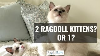 What You Need to Know About Owning 2 Ragdoll Kittens!