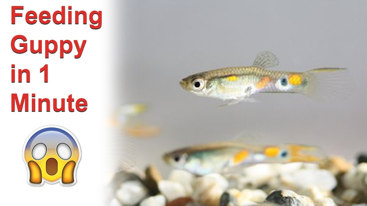 How to feed Guppy 70