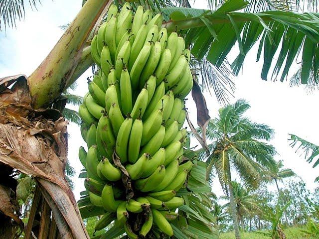Банан это не дерево, а трава