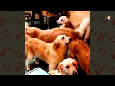 Funny Golden Retriever Videos 2017 # 40