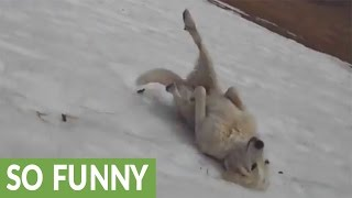Dog repeatedly slides down icy hill