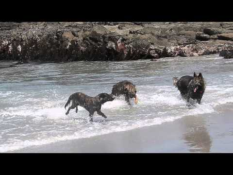 Dutch Shepherd Surfs at Carmel Beach 5/13