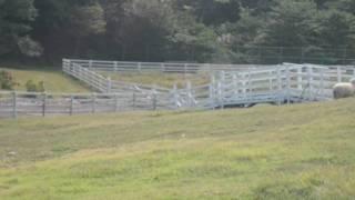 09年09月19日六甲山牧場にて、羊の追い込みショーです。 シープドッグが...