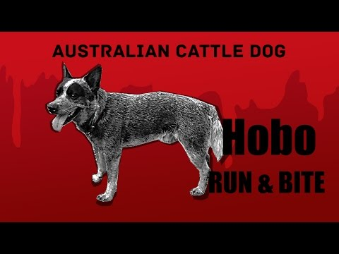 Australian cattle dog Hobo - Run and Bite