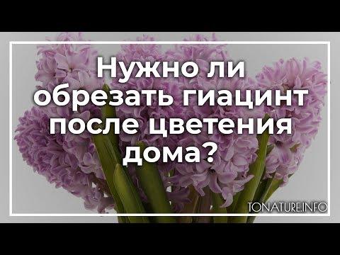 Нужно ли обрезать гиацинт после цветения дома?   toNature.Info