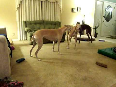 Greyhounds playing