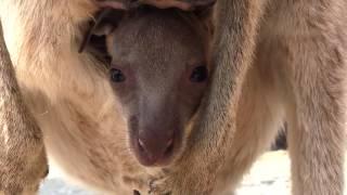 2013年 3月25日に初めて袋の中から顔を出したオオカンガルーの赤ちゃん...
