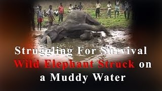 Struggling for survival - Wild elephant struck on a muddy water - RedPix 24x7