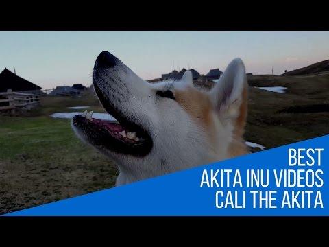 Best Dog Breed Akita Inu - gorgeous dog and mountain scenery (Japanese Akita, 秋田犬)