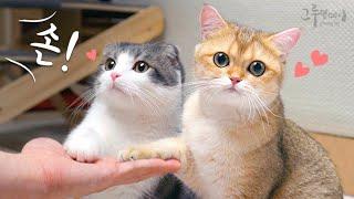 먼치킨 고양이 코비가 하이파이브를 해요