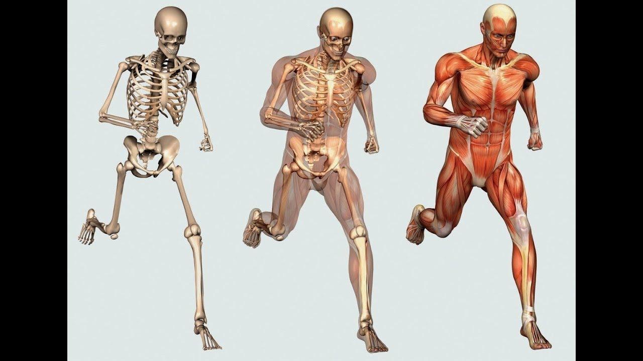 Top 10 Longest Bones In The Human Body Youtube