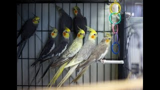 Cockatiels are the BEST | SINGING EDITION | This will make y...