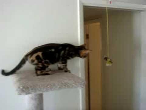 Cat Chittering At Kitten