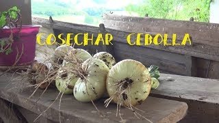 Cosecha cebollas de bulbo || Cultivo Cebolla || Tu Huerto Facil || #tuhuertofacil