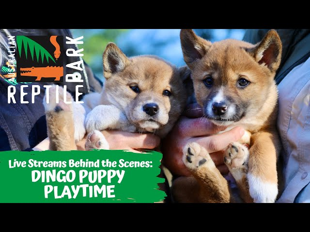 DINGO PUPPY PLAYTIME (LIVE FOOTAGE) | AUSTRALIAN REPTILE PARK